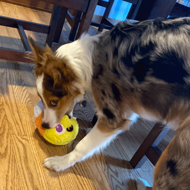 Digit with his Barkbox toy