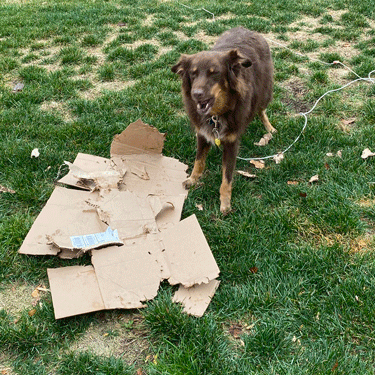 Snickers barking at a shredded box
